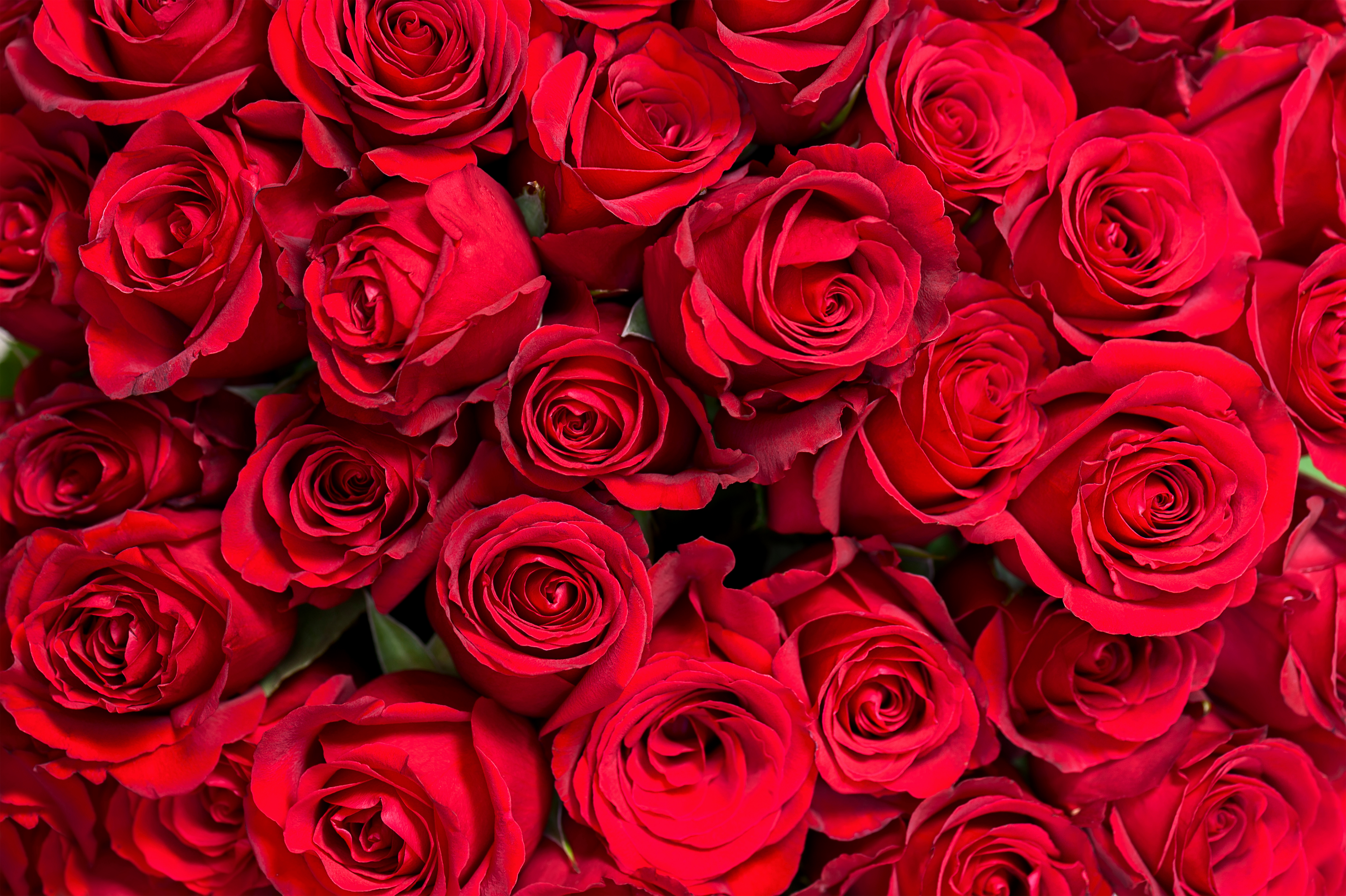 Red Roses Red Background.