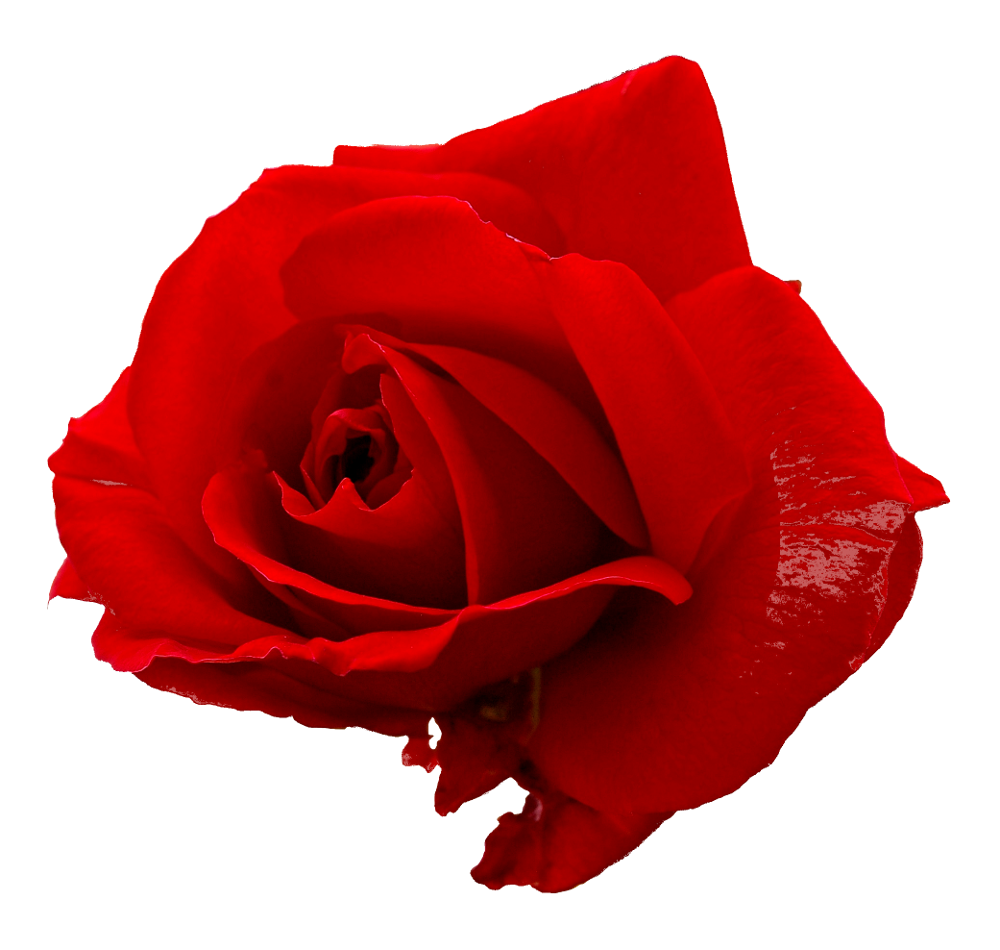 5 Flower Red Rose PNG Image Transparent.