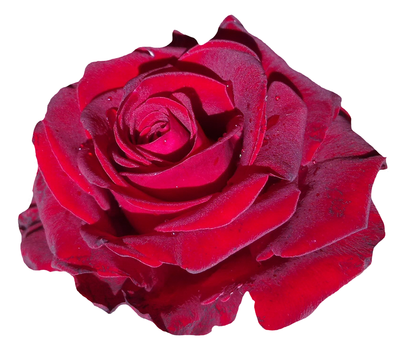 Red Rose Flower PNG Image.