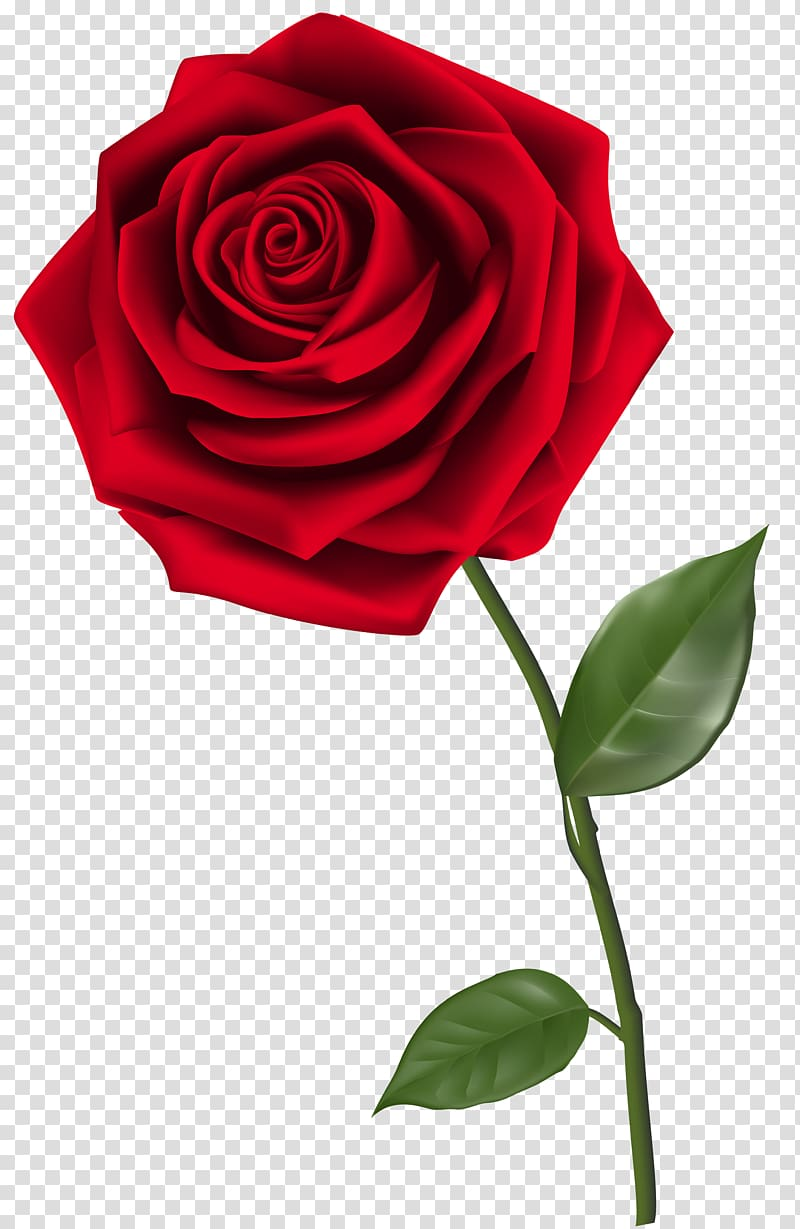 Rose , Single Red Rose , red rose transparent background PNG.