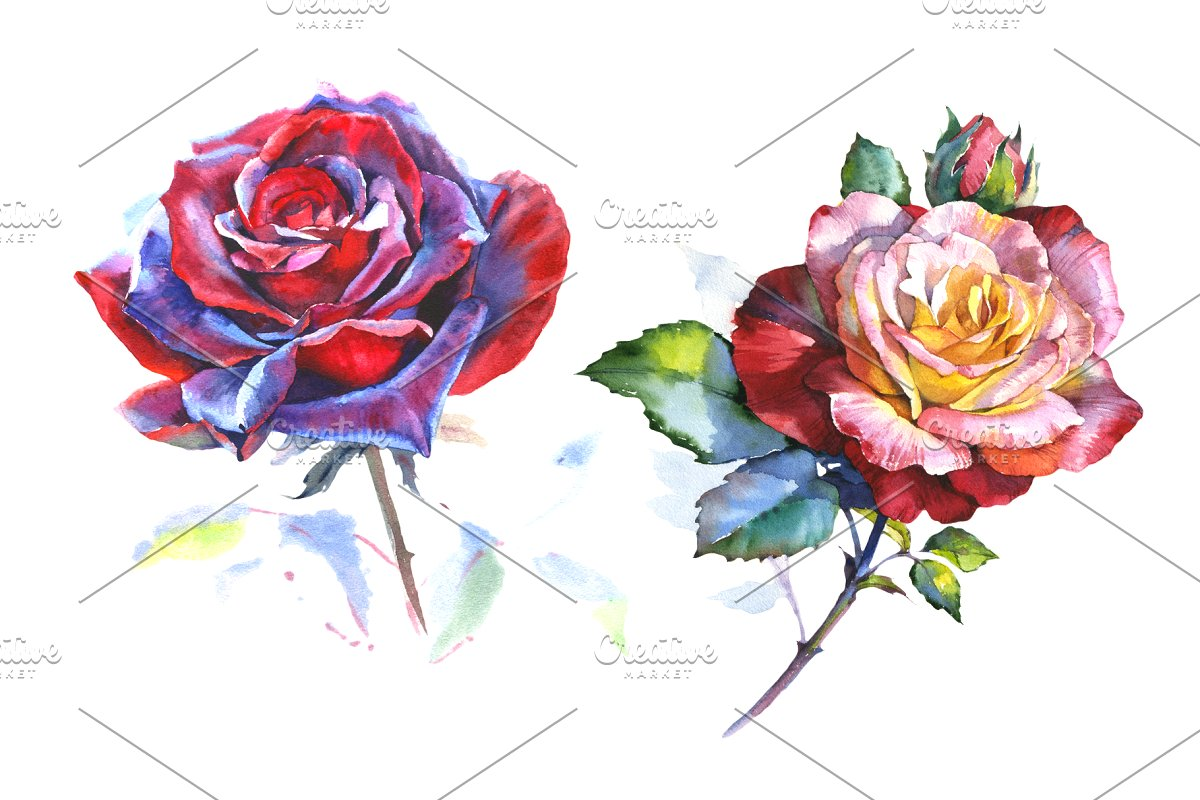 Stunning big red rose PNG watercolor.