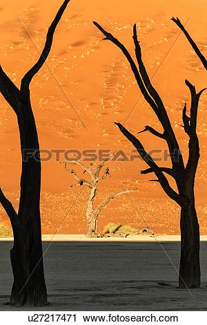 Stock Photography of Dead camelthorn trees silhouetted against red.