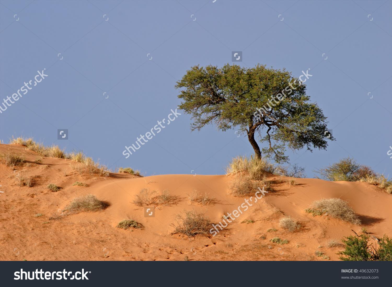A Camel Thorn Tree (Acacia Erioloba) On A Red Sand Dune, Kalahari.