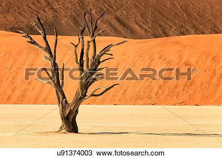 Stock Photo of Dead camelthorn trees against red sand dunes of.