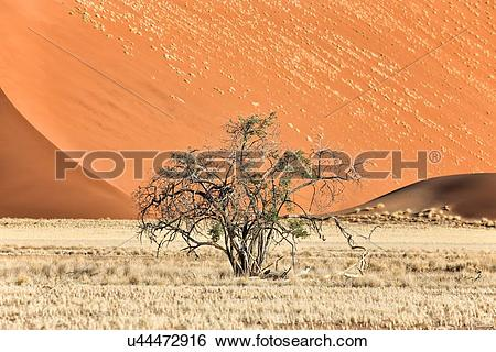 Stock Images of Single bush framed by red sand dunes of different.