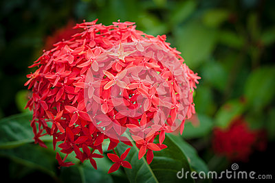 Ixora Stock Photo.