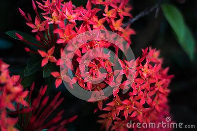 Red Santan Flower Stock Photo.