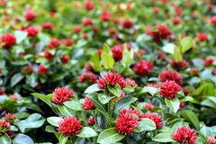 Red Santan Plant Stock Photo.