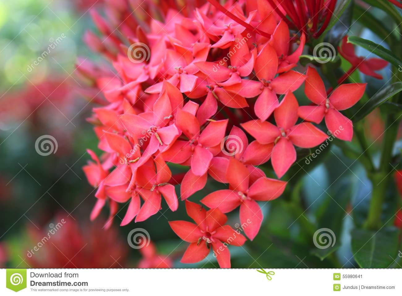 Santan Flower Stock Photo.