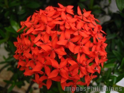 "santan flower""."