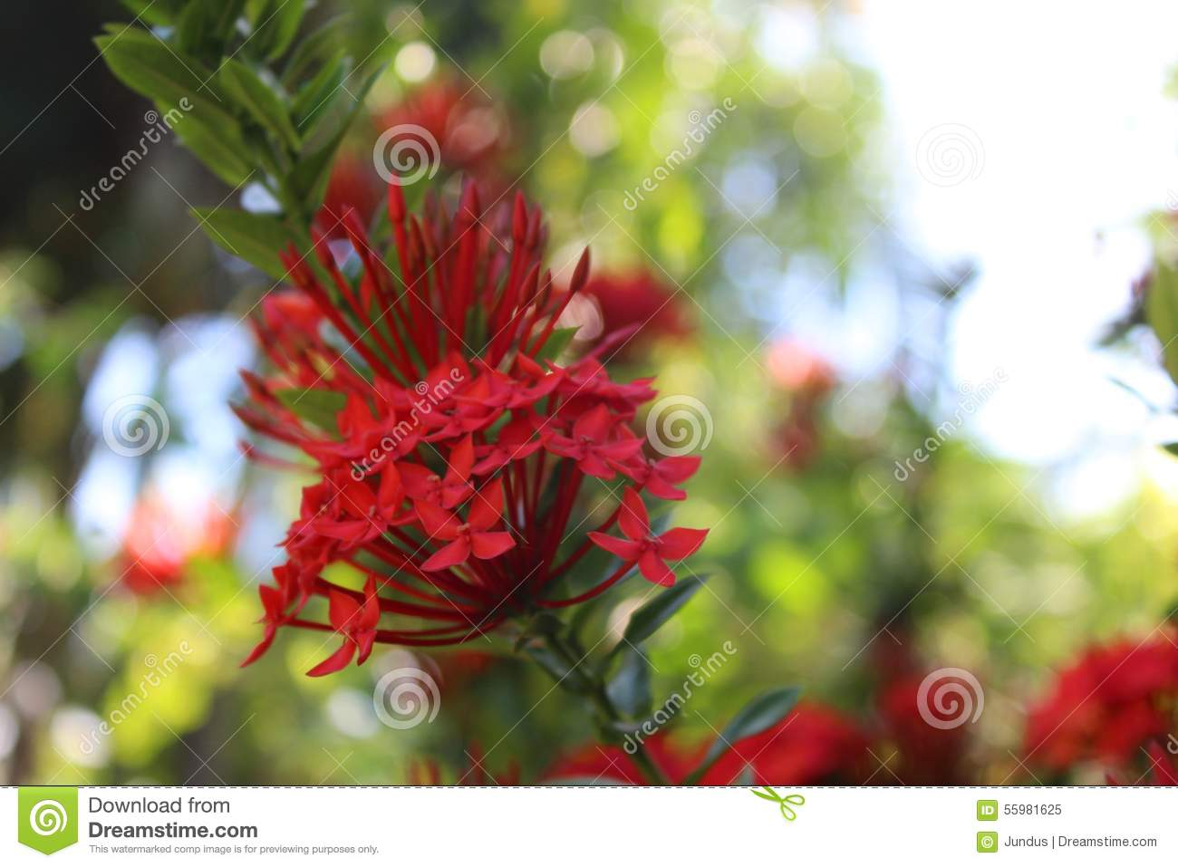 Red Santan Flower Stock Photo.