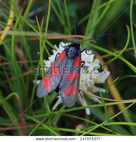 Zygaenidae Moth Stock Photos, Royalty.