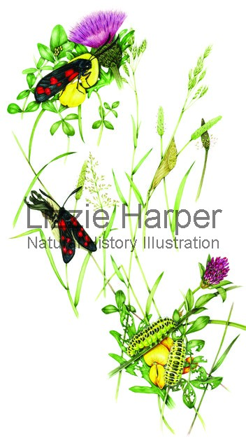 Six spot burnet moth complete life cycle in habitat.