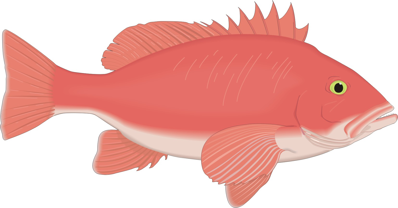 cartoon fish red snapper picture, cartoon fish red snapper.
