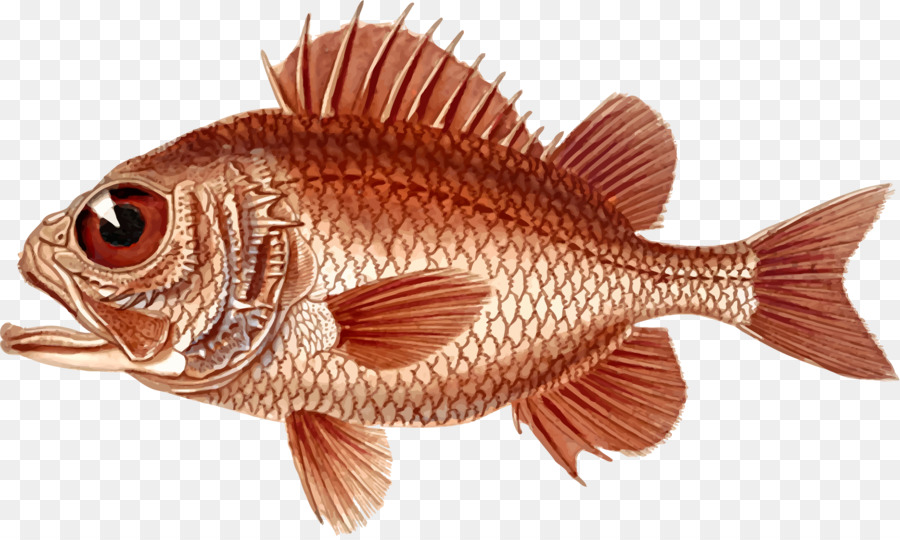 Northern red snapper Clip art Openclipart Image Drawing.
