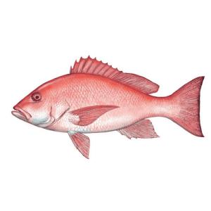 Florida Gulf Coast Red Snapper.