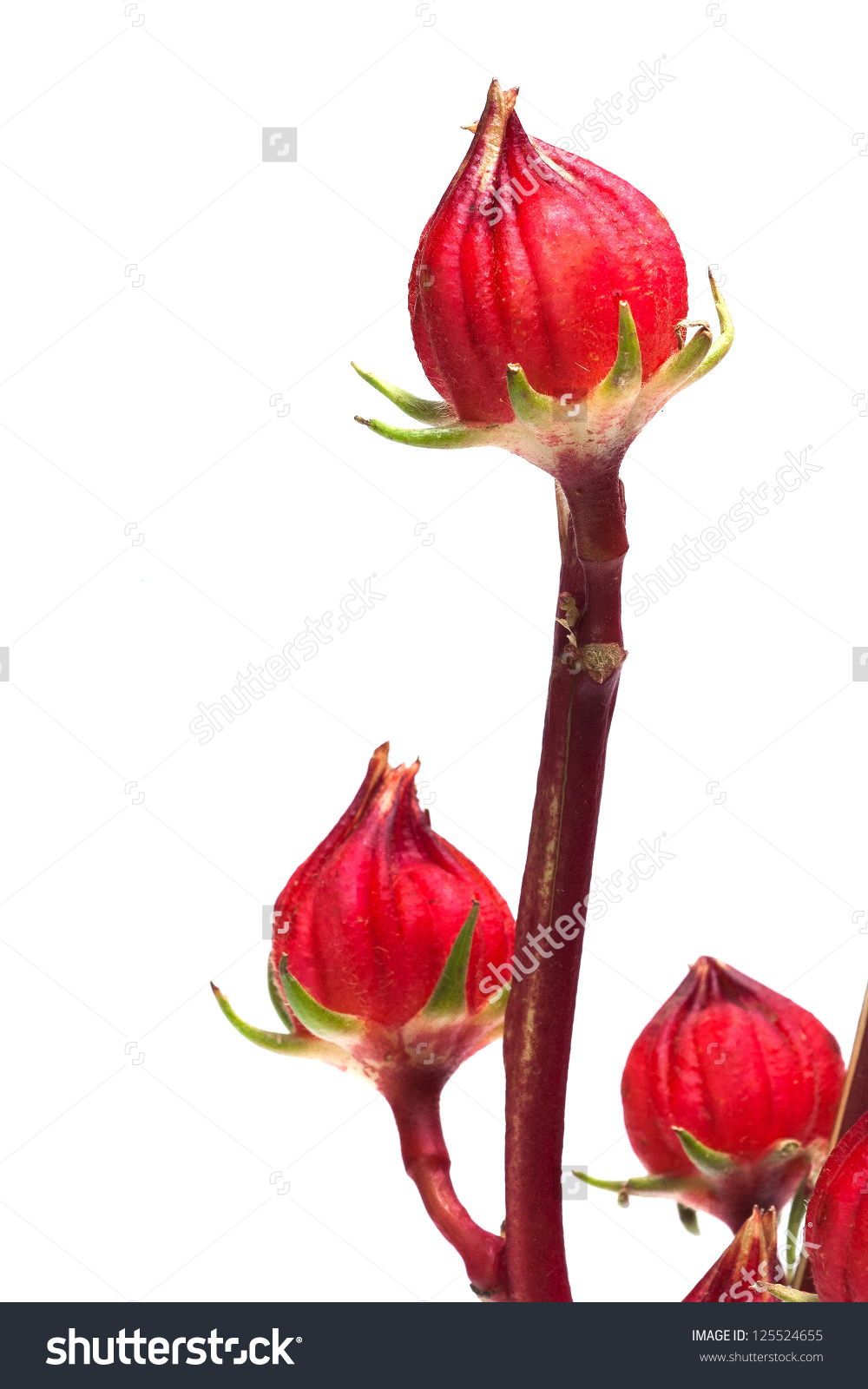 Reselle, Red Sorrel A White Background. Stock Photo 125524655.