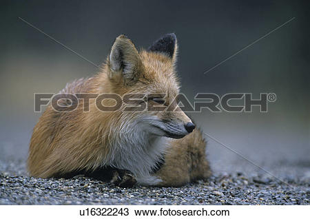 Stock Photo of foxes, red fox, sorrel, American, resting, repose.