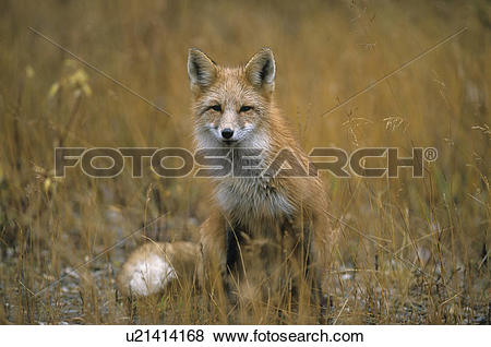 Pictures of foxes, grass, herbage, weed, pot, red fox, sorrel.
