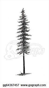 Black Spruce Tree.