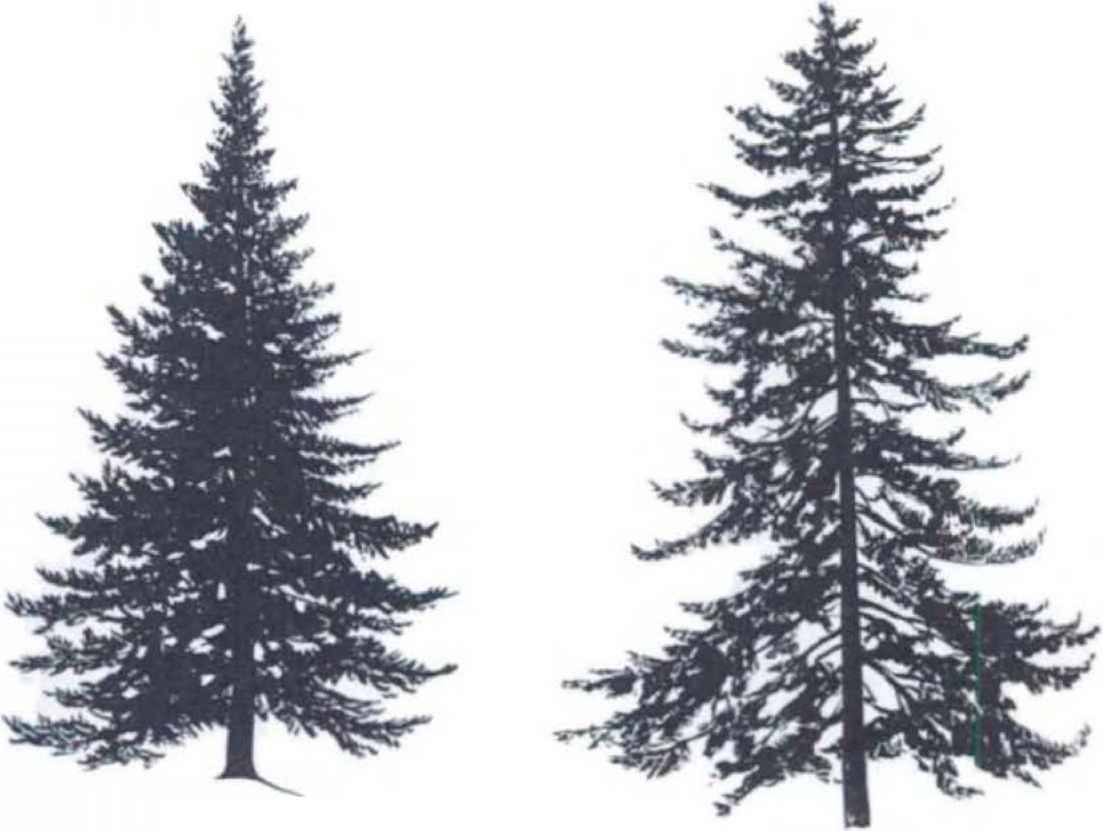 Spruce Drawing.