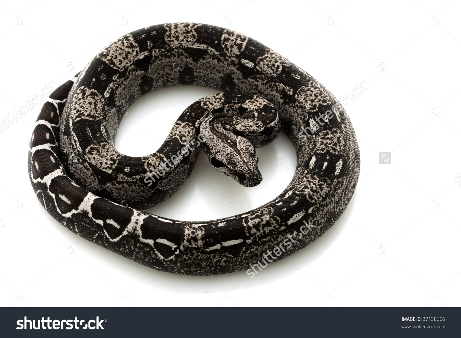 Anerythristic Columbian Redtailed Boa Boa Constrictor Stock Photo.