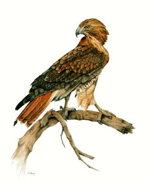 Red Tailed Hawk.jpg (480×611).