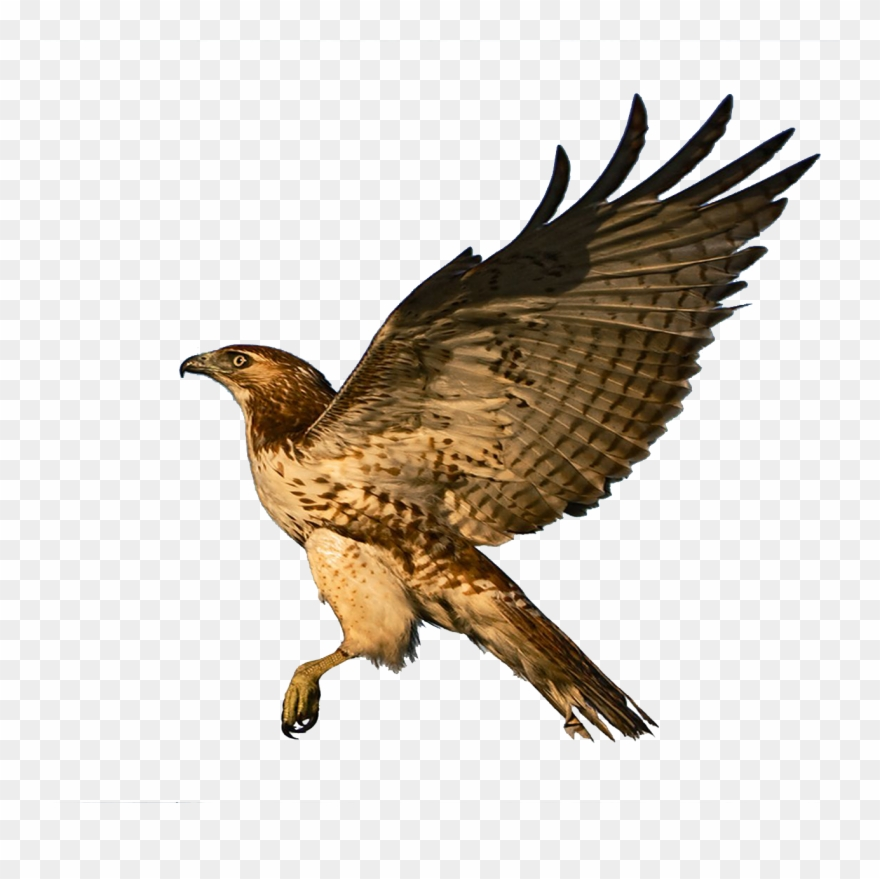 Red Tailed Hawk Clipart Falcon.