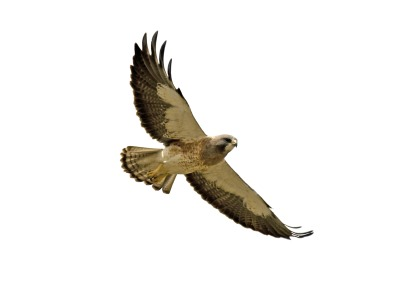 Red tailed hawk clipart free images.