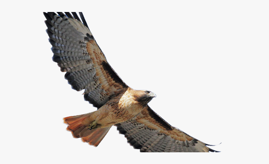 Coopers Hawk Clipart Flying.