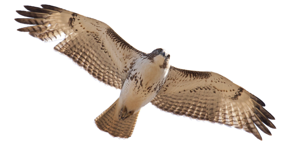 Red Tailed Hawk Png Png Royalty Free Lib #44607.