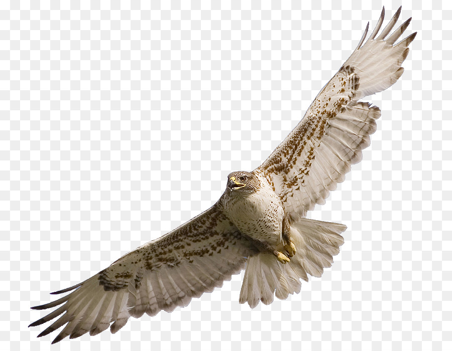 Download Free png Bird Owl Red tailed hawk Clip art Hawk png.