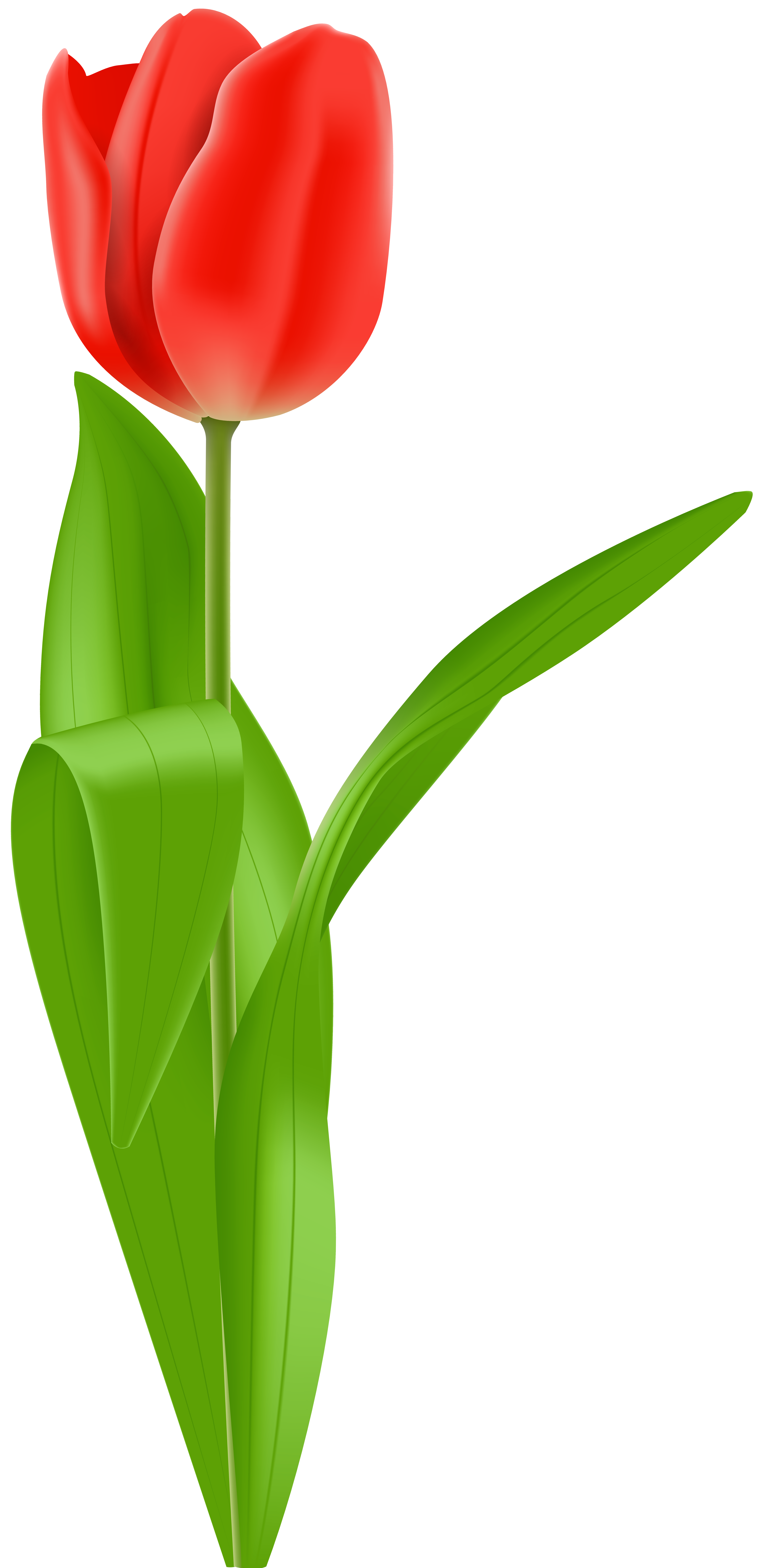 Red Tulip PNG Clip Art Image.
