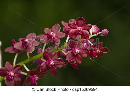 Vanda Images and Stock Photos. 870 Vanda photography and royalty.