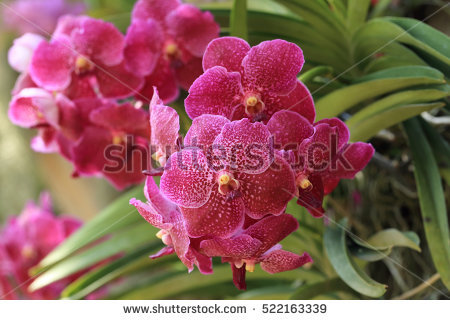 Bouquet Vanda Violet Orchid Stock Images, Royalty.