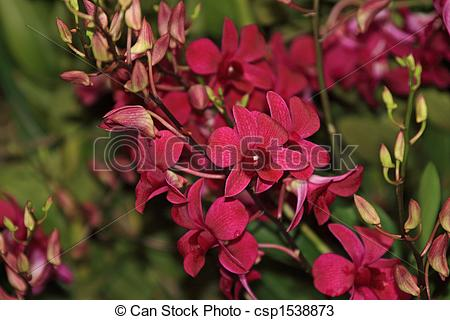 Stock Photos of Vanda, Orchid.