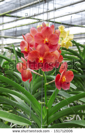 Red Vanda Orchid Stock Photo 151712006 : Shutterstock.