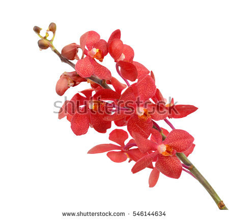 Red Orchid Stock Photos, Royalty.