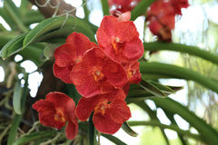 Red Vanda Orchid, Natural Garden Background Stock Photo.