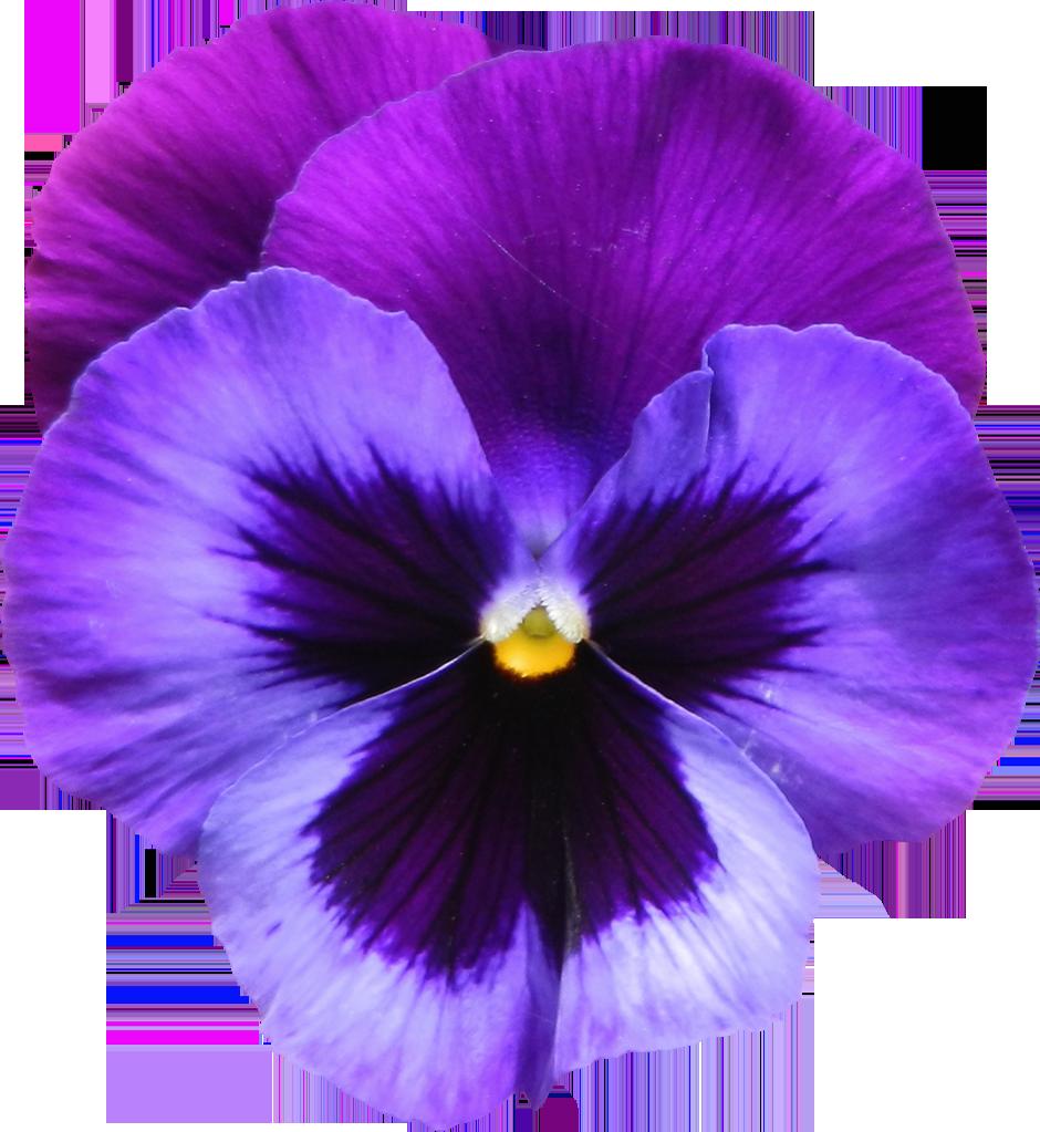 Large_Transparent_Purple_Violet_Flower_PNG_Clipart.png (940×1023.