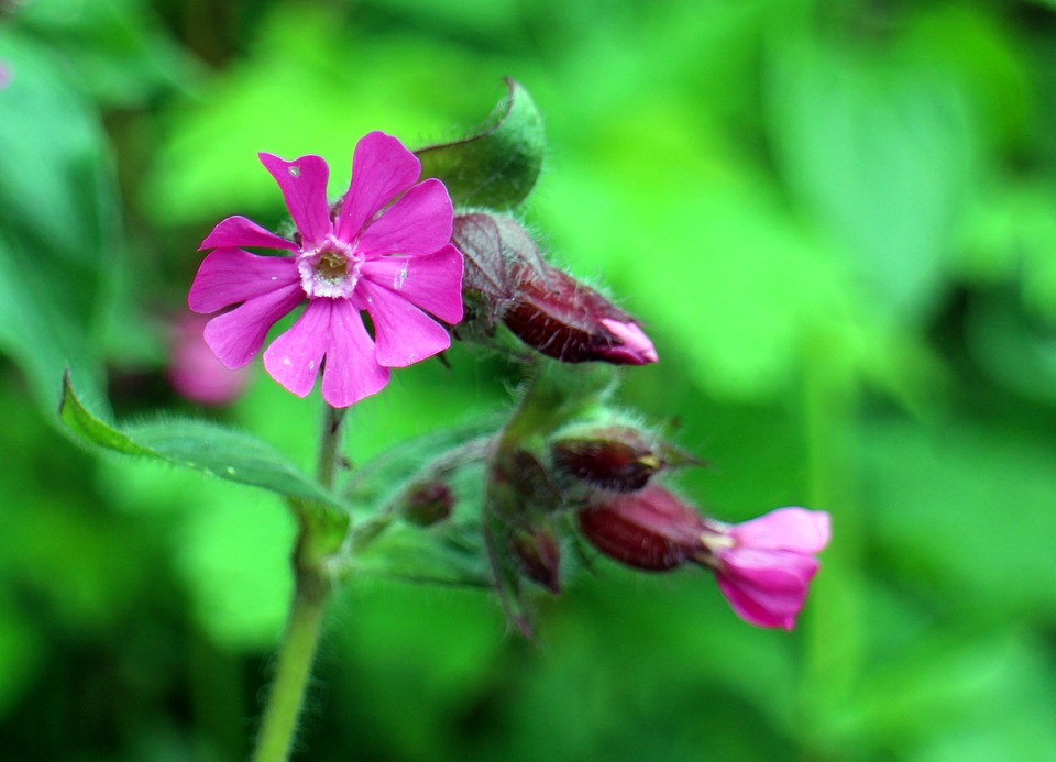 Free photo Red Campion Wild Plant Campion Carnation Family.