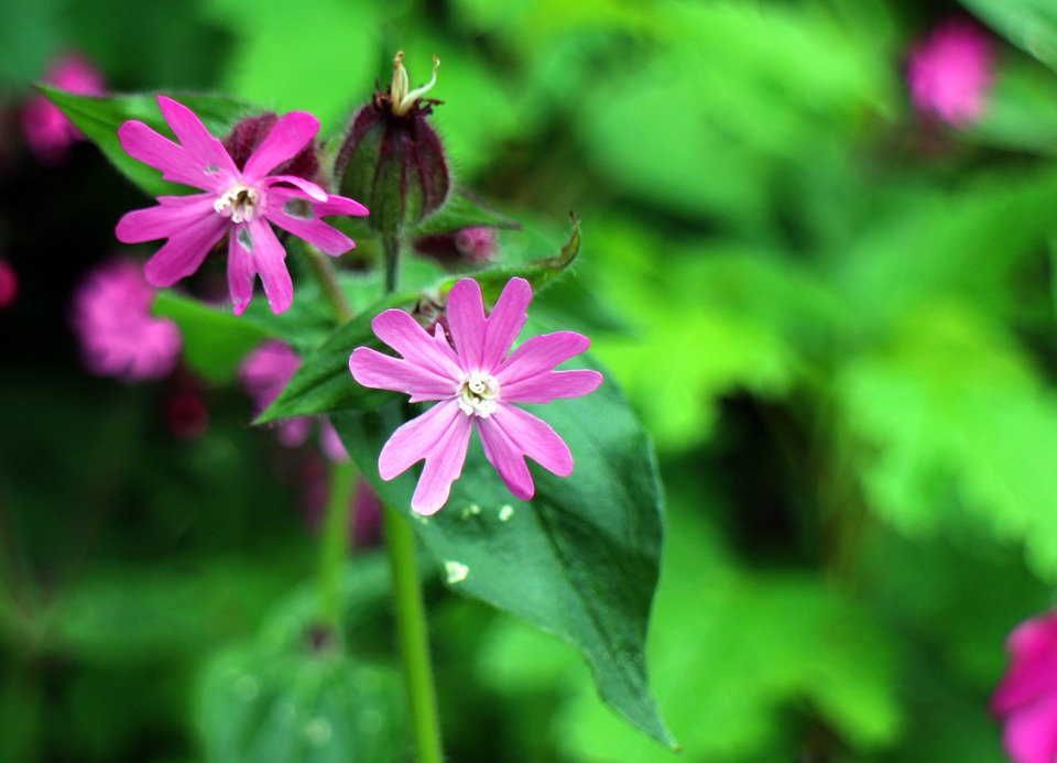 Free photo Wild Plant Campion Red Campion Carnation Family.