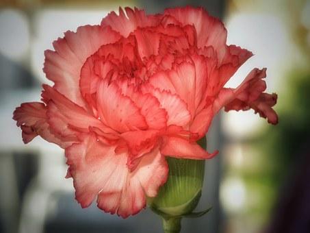 Carnation, Flower.