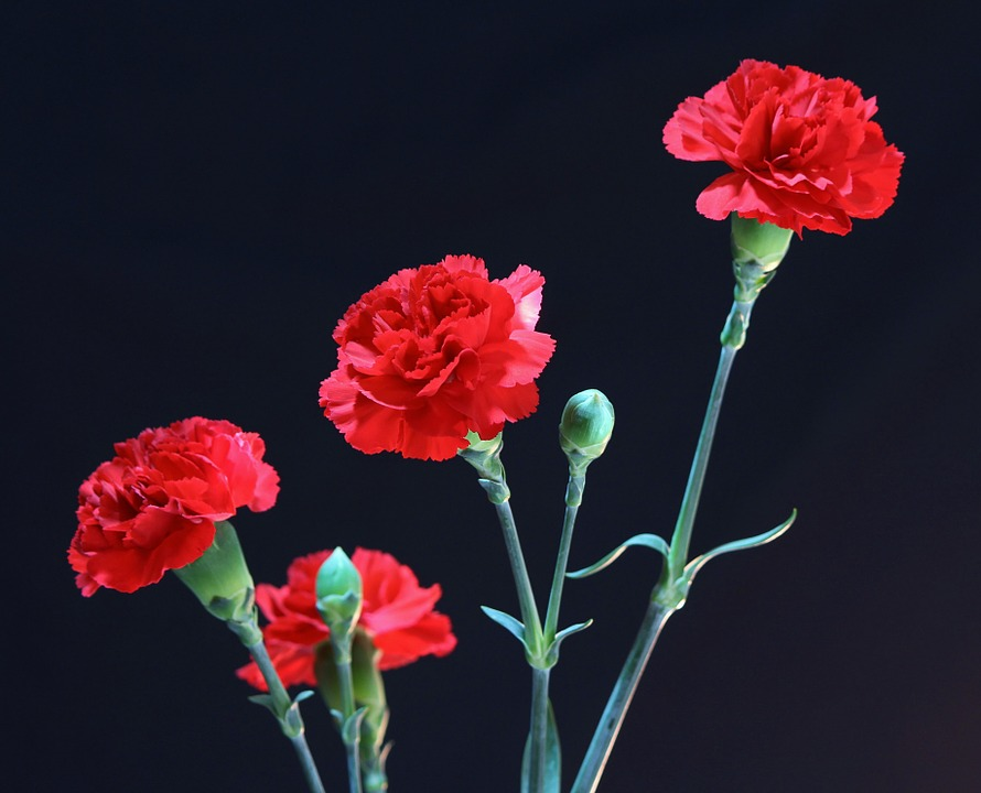 Free photo Floral Red Carnations Natural Plant Perennial.