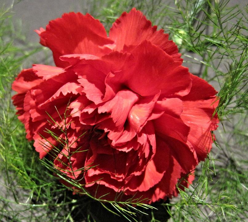 Free photo Fern Flower Garden Red Carnation.