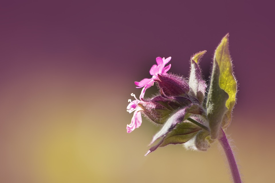 Free photo: Campion, Red Campion, Pointed Clove.