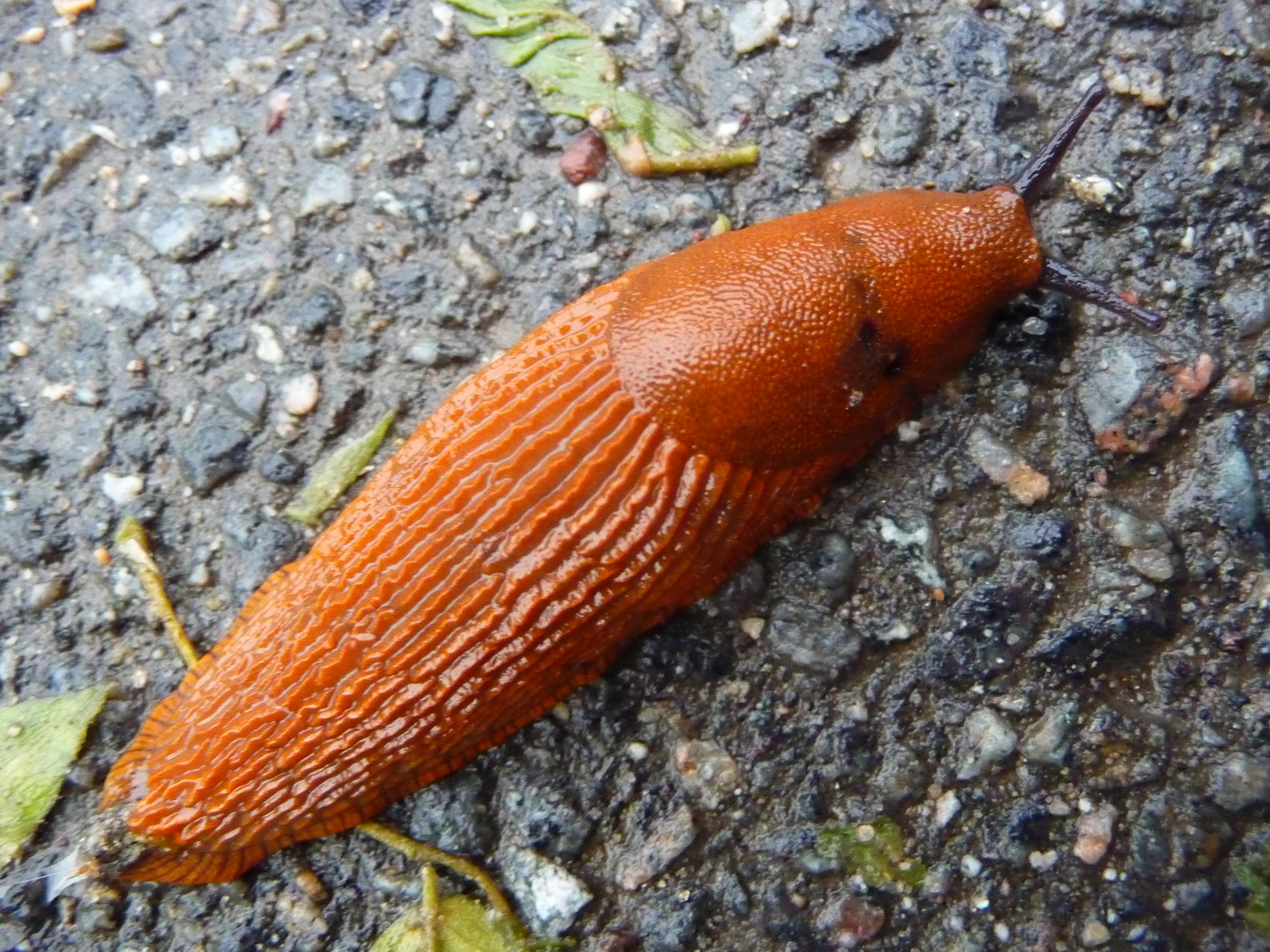 File:Red slug (Arion rufus).JPG.