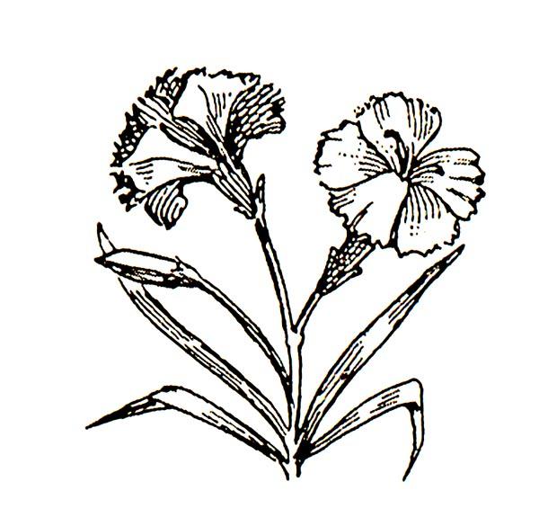 White carnation clip art.