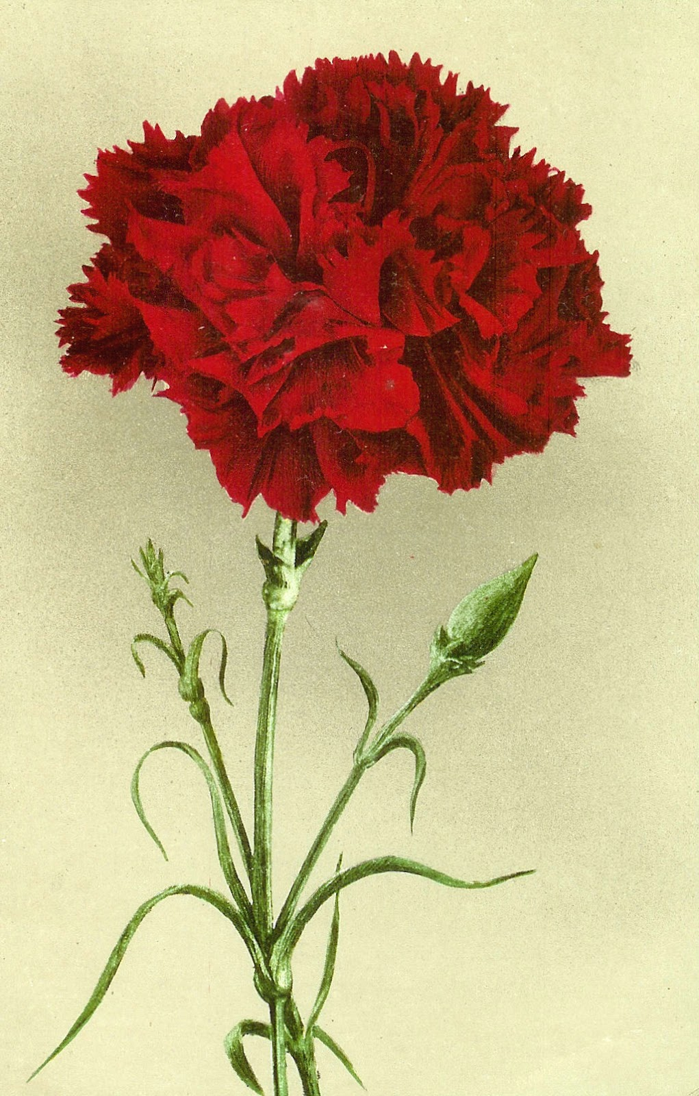 Red White Carnation Clipart Clipground