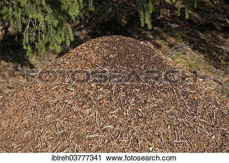 "Stock Photography of ""Anthill of the Big Red Wood Ant (Formica."